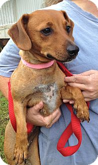Dachshund Mix Dog for adoption in Savannah, Georgia - Pearl