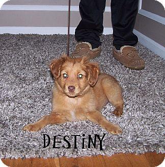 Sheltie, Shetland Sheepdog Mix Puppy for adoption in Milford, New Jersey - Destiny