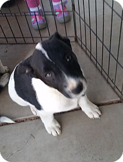 Border Collie/Cattle Dog Mix Puppy for adoption in Pleasanton, California - Boomer