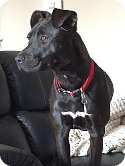 Pit Bull Terrier Mix Dog for adoption in Villa Park, Illinois - Demi
