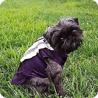 Brussels Griffon Dog for adoption in Marion, Ohio - LUCCI:  Adopted