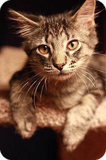 Domestic Shorthair Kitten for adoption in Lincoln, Nebraska - Chip