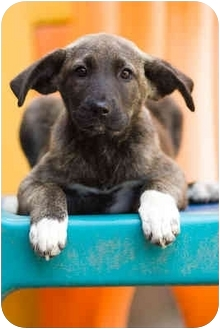 German Shepherd Dog Mix Puppy for adoption in Portland, Oregon - Clair