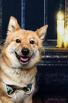 Shiba Inu Mix Dog for adoption in Baton Rouge, Louisiana - Roxanne