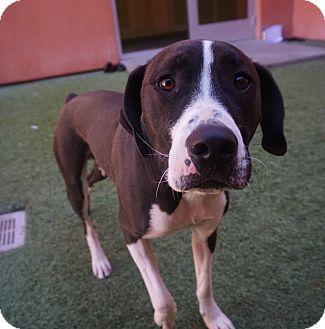 American Pit Bull Terrier Mix Dog for adoption in Farmington, New Mexico - Norton