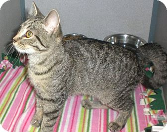 Domestic Shorthair Kitten for adoption in Knoxville, Iowa - Cleopatra