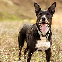 Border Collie/Chesapeake Bay Retriever Mix Dog for adoption in Corning, California - NEWT