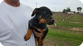 Doberman Pinscher Mix Puppy for adoption in Tracy, California - Napolean