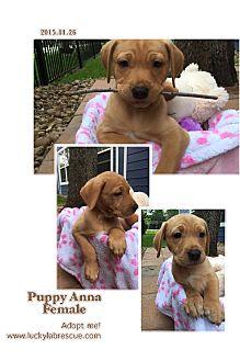 Labrador Retriever Mix Puppy for adoption in Austin, Texas - Puppy Anna