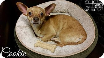 Chihuahua/Dachshund Mix Dog for adoption in Laplace, Louisiana - Cookie