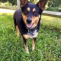 Adopt A Pet :: Attie - Cincinnati, OH