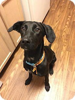 Labrador Retriever Mix Dog for adoption in O'fallon, Missouri - Luna