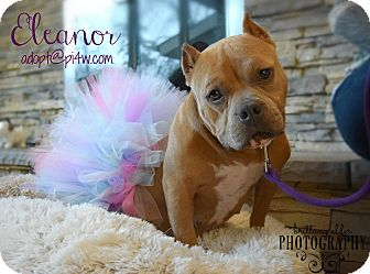 American Staffordshire Terrier Mix Dog for adoption in Cherry Hill, New Jersey - Ella
