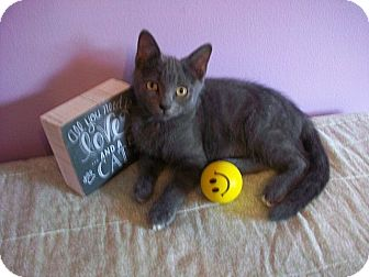 Domestic Shorthair Kitten for adoption in Tampa, Florida - Toey