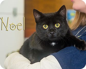 Domestic Shorthair Cat for adoption in Somerset, Pennsylvania - Noel