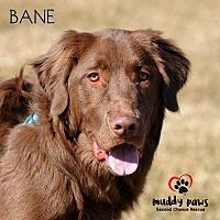 Adopt A Pet :: Bane - Council Bluffs, IA