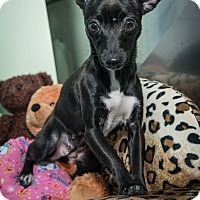 Adopt A Pet :: Gypsy - New York, NY
