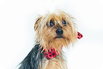 Yorkie, Yorkshire Terrier Mix Dog for adoption in New Castle, Pennsylvania - Ralphie