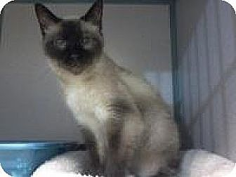 Siamese Cat for adoption in Arlington, Virginia - Zoe- Declawed  Sweetheaart