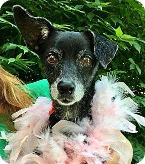 Chihuahua Dog for adoption in Potomac, Maryland - Heidi