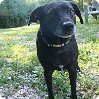 Jack Russell Terrier/Labrador Retriever Mix Dog for adoption in House Springs, Missouri - Penelope