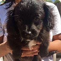 Adopt A Pet :: Sophie - Santa Ana, CA