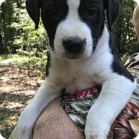 Adopt A Pet :: Ginger - Glastonbury, CT