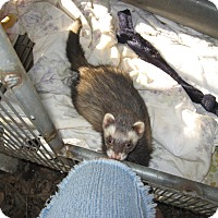 Adopt A Pet :: Ferret (f) - Christmas, FL