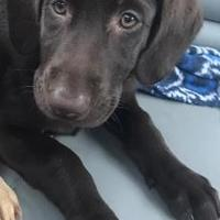 Labrador Retriever Mix Dog for adoption in Newfield, New Jersey - Cher
