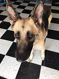 German Shepherd Dog Dog for adoption in Kansas City, Missouri - Gazelle