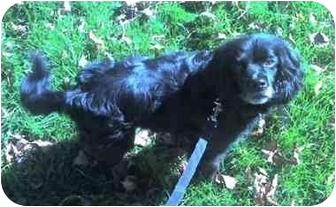 Cocker Spaniel Mix Dog for adoption in Osseo, Minnesota - Henry