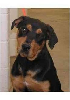 Rottweiler Dog for adoption in Goldendale, Washington - Star