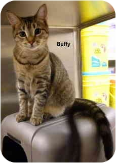 Domestic Shorthair Cat for adoption in Levittown, New York - Buffy