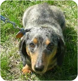Dachshund Dog for adoption in Jacobus, Pennsylvania - Pancho - MD