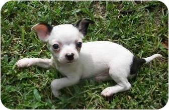 Boston Terrier/Scottie, Scottish Terrier Mix Puppy for adoption in Umatilla, Florida - Button