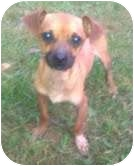 Chihuahua Mix Dog for adoption in Foster, Rhode Island - Lil Man
