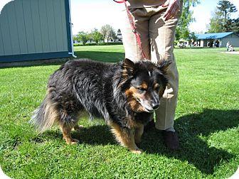 Sheltie, Shetland Sheepdog Mix Dog for adoption in Kingston, Washington - **BLUE**