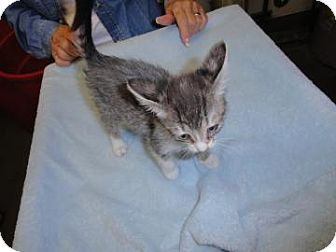 Domestic Shorthair Kitten for adoption in Phoenix, Arizona - Lilly