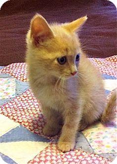 Domestic Shorthair Kitten for adoption in Winston-Salem, North Carolina - Benjamin Buttons