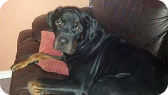Rottweiler Dog for adoption in Richmond, Virginia - Koda