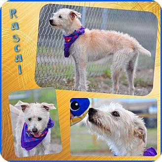 Schnauzer (Standard) Mix Dog for adoption in Corpus Christi, Texas - Rascal