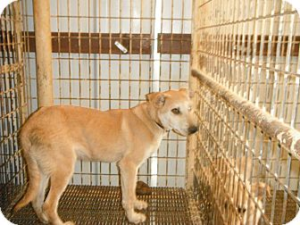 Labrador Retriever Mix Dog for adoption in Hearne, Texas - JESSE