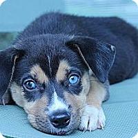 Adopt A Pet :: Bob - South Jersey, NJ