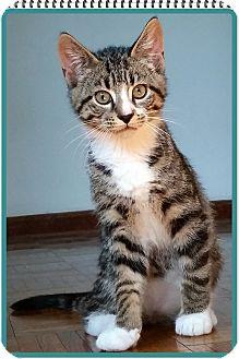 Domestic Shorthair Kitten for adoption in Mt. Prospect, Illinois - Peter