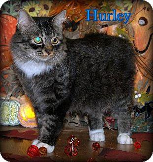 Domestic Mediumhair Cat for adoption in Lewisburg, West Virginia - Hurley