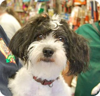 Havanese Mix Dog for adoption in Brooklyn, New York - Brightwater