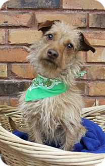 Dachshund Mix Dog for adoption in Benbrook, Texas - Tony