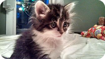 Domestic Mediumhair Kitten for adoption in Sterling Heights, Michigan - Sasha