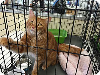Domestic Mediumhair Cat for adoption in Warren, Michigan - Bernard V OHare