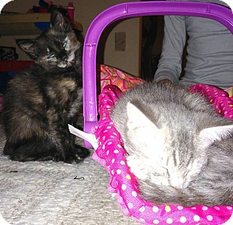 Domestic Shorthair Kitten for adoption in Parkton, North Carolina - Gray Babbie and tortie calico